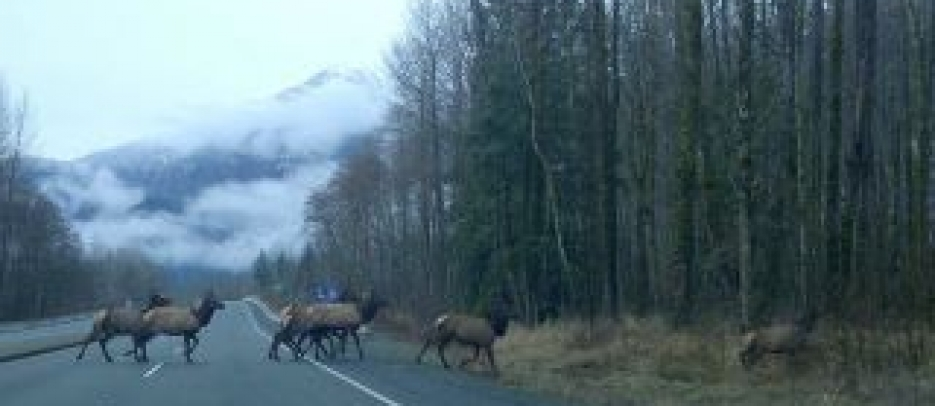 Elk on Highway