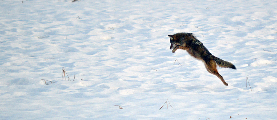 Coyotes can hear a mouse under 20 cm of snow