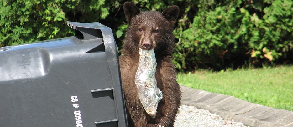 Bears are opportunistic and will eat non-natural food like garbage