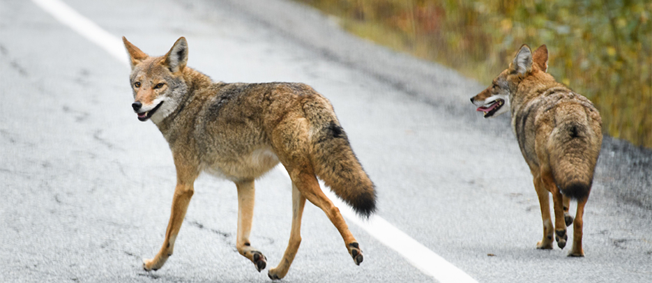 Local coyotes on the lookout for food