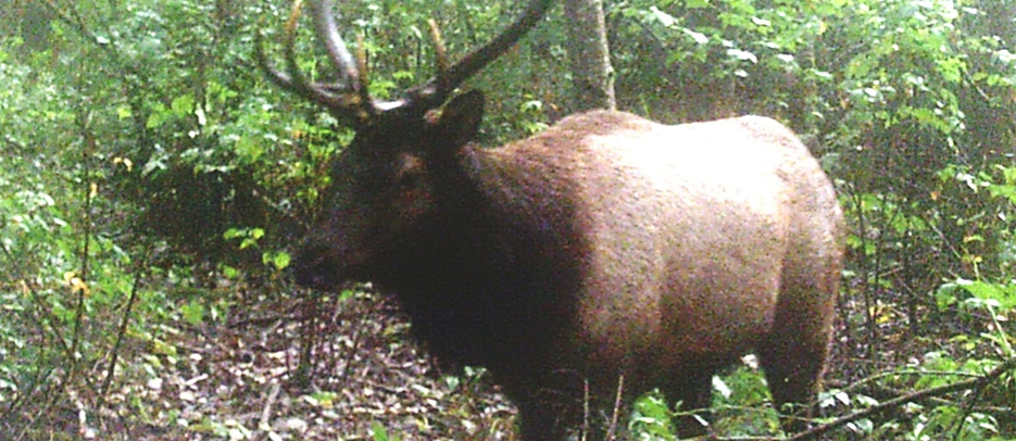 Elk bull at Loggers Creek