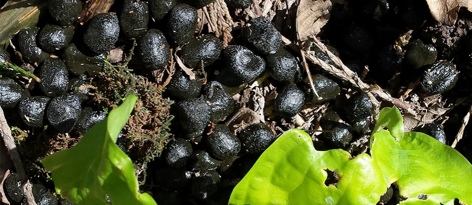Elk scat with skunk cabbage